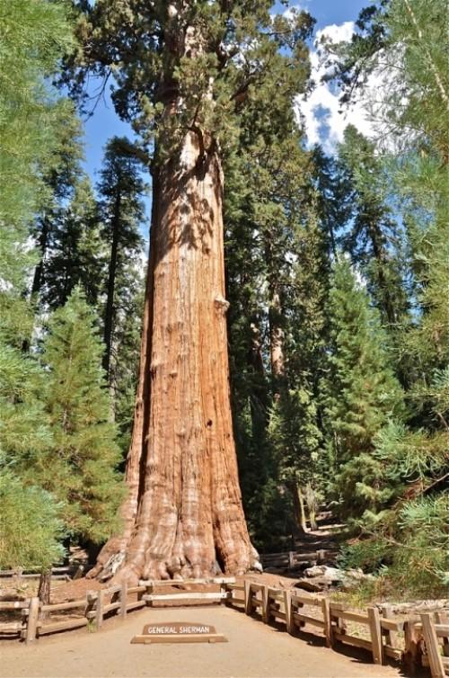 4c41f554f الجنرال شيرمان» أكبر شجرة على وجه الأرض - البيان